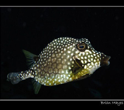 Smooth Trunkfish from Bonaire.... Canon G7 by Brian Mayes 